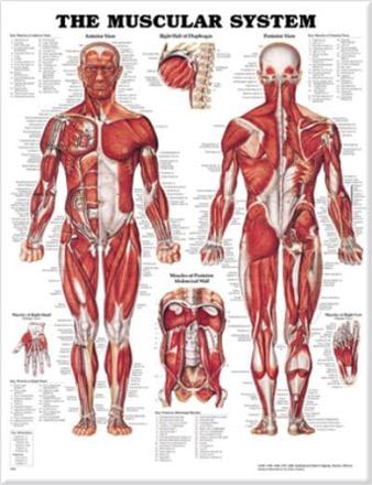ISBN: 9781587790362 - The Muscular System Anatomical Chart