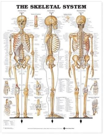 ISBN: 9781587790638 - The Skeletal System Anatomical Chart